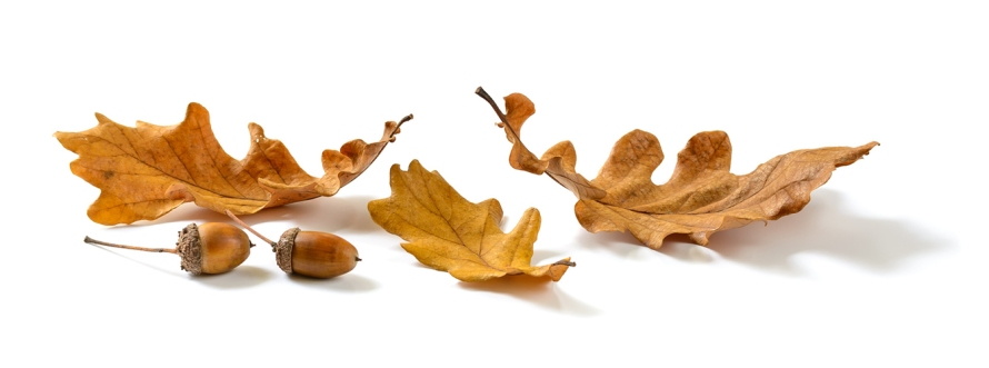 Oak leaves and acorns isolated on white background