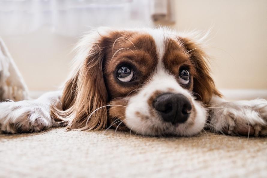 dog-2785074_960_720 (1)